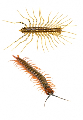 How to Get Rid of Millipedes, Centipedes and Mites in Your