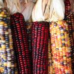 festivity-sweet-corn