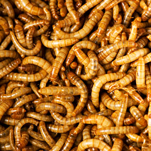 Image gallery meal worms for Mealworms for fishing