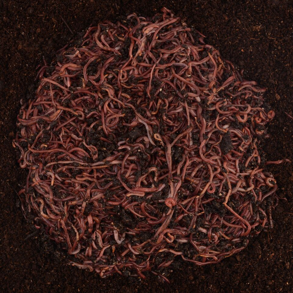 5000 Red Composting Worm Mix