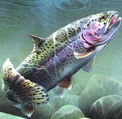 rainbow-trout-worms