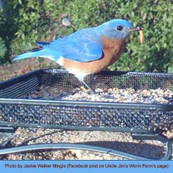 bird eats a mealworm