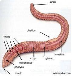 worm anatomy
