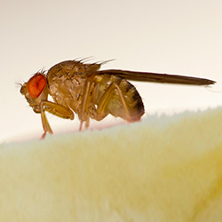 fruit fly on banana