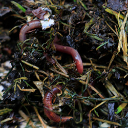 red worm composting in a bin