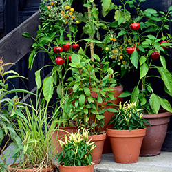 container garden with tomatoes