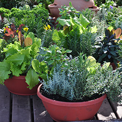 container gardening with lettuce